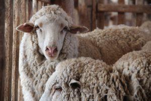 Оспа овец