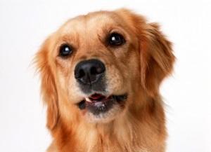 Если ваша собака постоянно чешется
